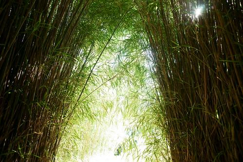 sony bamboo 日本 竹 α 静岡 dslra900 sal2470z variosonnart2470mmf28za 富士竹類植物園 駿東郡長泉町 琉球竹