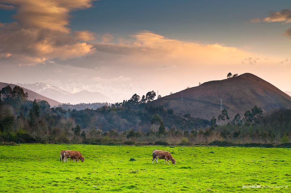 Vacas pastando al atardecer, Asturias