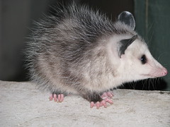animal(1.0), opossum(1.0), virginia opossum(1.0), possum(1.0), common opossum(1.0), mammal(1.0), fauna(1.0), whiskers(1.0),