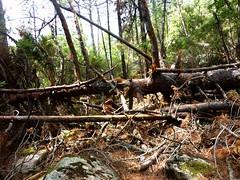 Dans la forêt du Bastion de Baliri : résultat des tempêtes d'hiver