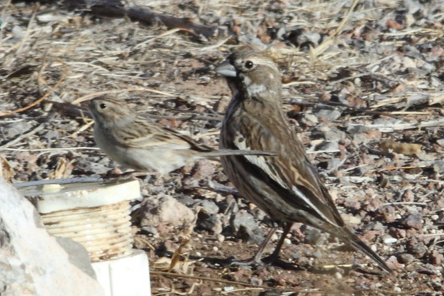 Brewer's Sparrow and Lark Bunting