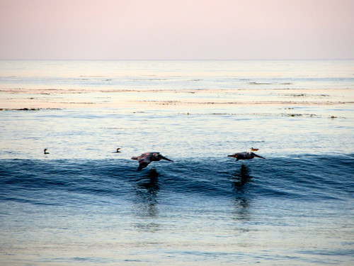 pelicans surf
