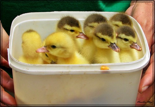 Meus patinhos amarelinhos!!! Cresceram e se foram ... My yellow ducklings! Grown and gone ...