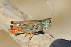 Stenobothrus nigromaculatus male