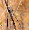 California Spreadwing (Archilestes californica) by Leslie Flint