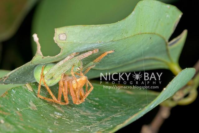 Huntsman Spiders (Sparassidae) - DSC_3665