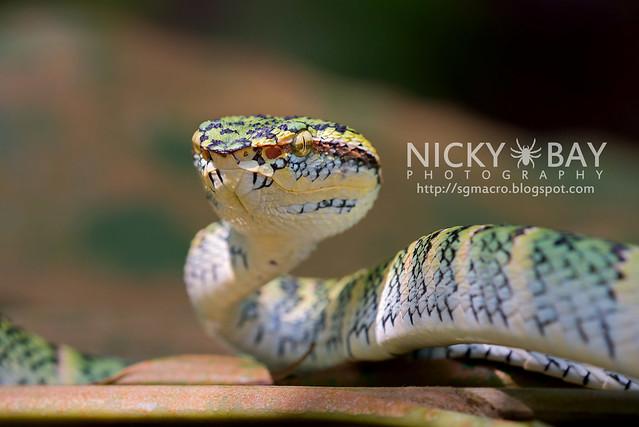Wagler's Pit Viper (Tropidolaemus wagleri) - DSC_3902