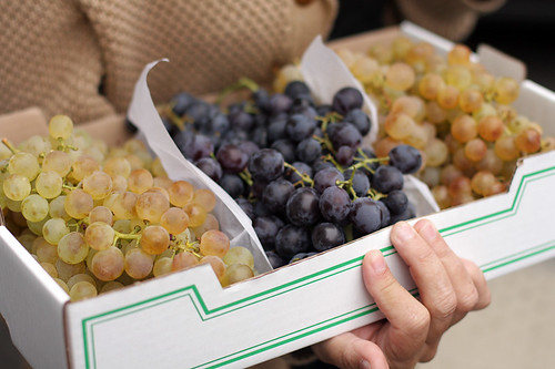 chasellas and muscat grapes
