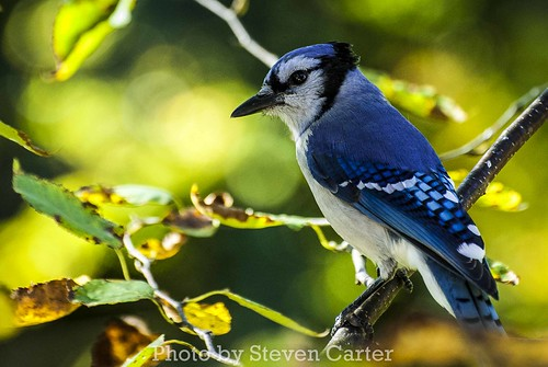 Blue Jay by satdishguy