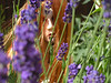 sun in lavender