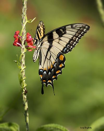 nature butterfly insect nikon louisiana folsom lepidoptera d800 tigerswallowtail saariysqualitypictures mygearandme mizellfarmsnursery nizon300mmf4lens