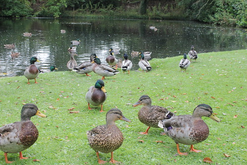 Invasion Of The Ducks