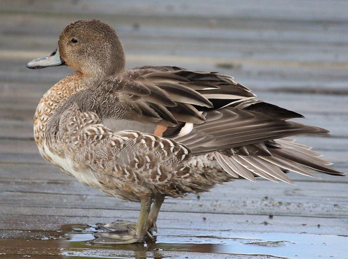 I met this Northern Pintail duck who was kind enough to stand for many poses