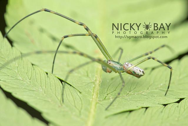 Long-Jawed Spider (Leucauge sp.) - DSC_5822