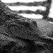 Small photo of Crocodile