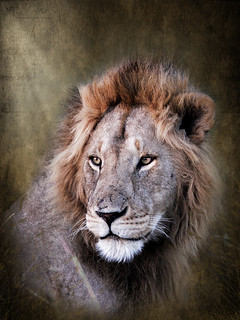 Wildlife Kenya - Lion