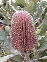 Banksia Protea 1