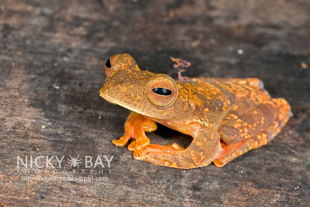 Harlequin Flying Frog (Rhacophorus pardalis) - DSC_8923