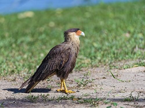 [フリー画像素材] 動物 2, 鳥類, カラカラ ID:201210050400