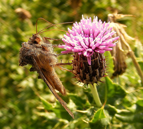 Fuji FinePix S5800-S800.Bridge Camera.Super Macro.Golden-Y Moth On A Creeping Thistle Flower.September 29th 2012.