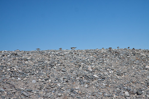Sandpipers on the rock wall