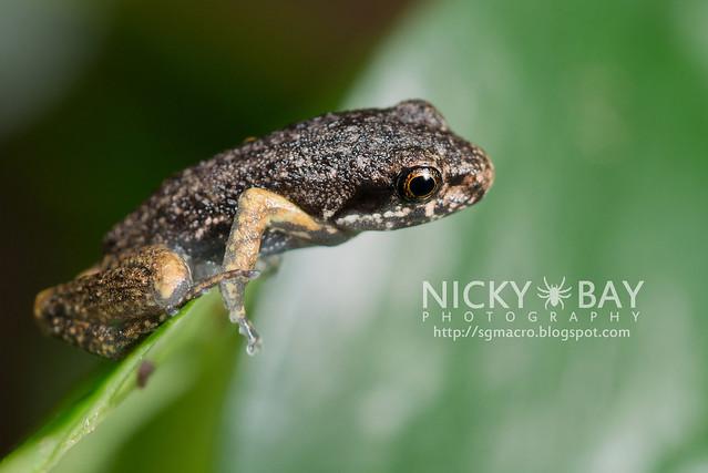 Frog (Anura) - DSC_8025