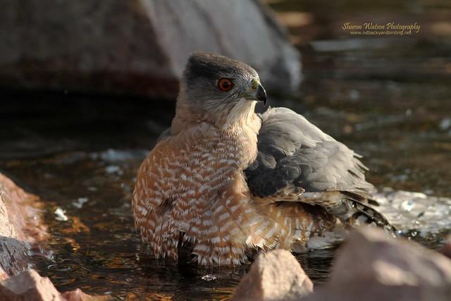 Cooper's Hawk (Accipiter cooperii)