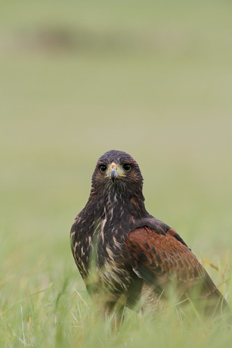 Harris Hawk by McShug