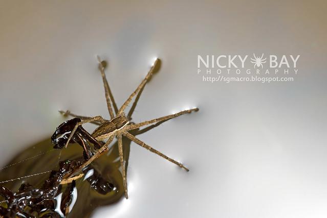 Fishing Spider (Dolomedes sp.) - DSC_6158