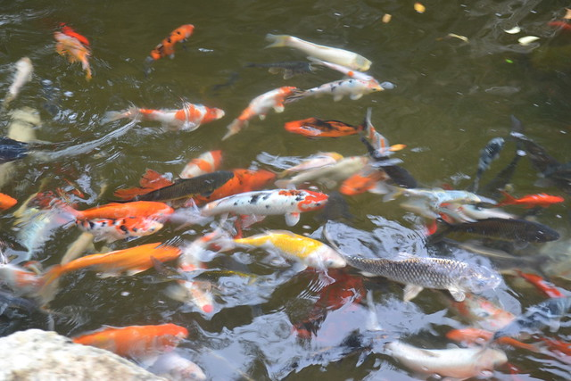 Koi of the Cotton Gin Village