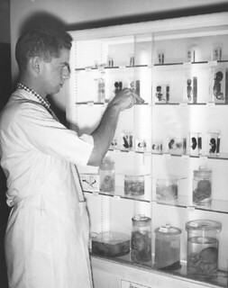 Robert Ockner '57 working in the Embryology Lab in 1955