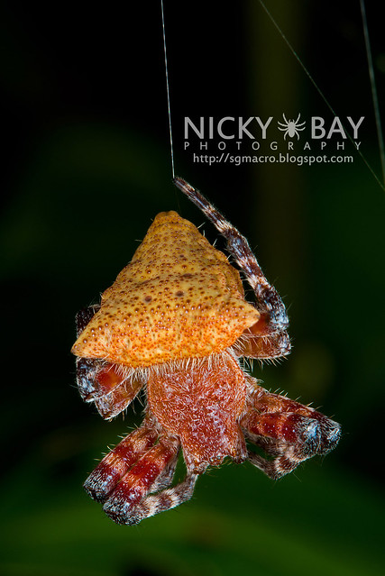 Red Tent Spider (Cyrtophora unicolor) - DSC_5177