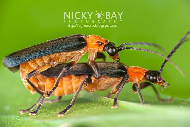 Fireflies (Lampyridae) - i02865