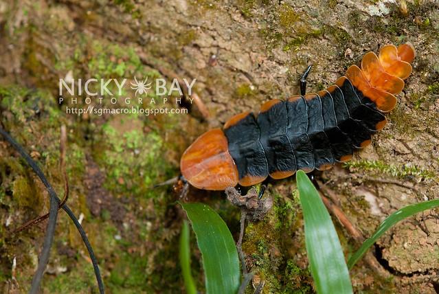 Firefly larva (Lampyridae) - DSC_5804