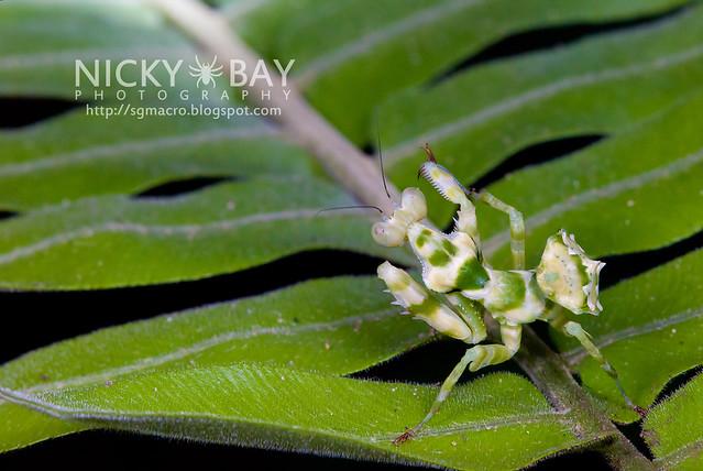 Banded Flower Mantis (Theopropus elegans) - DSC_3579