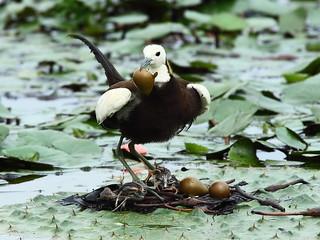 水雉所帶動的綠色保育標章。(臺南市水雉生態園區提供;翁榮炫攝)