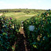 Burgundy Grape Harvest 2012