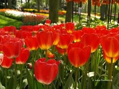 Dutch Tulips,  Keukenhof Gardens, Holland - 0657  POTD