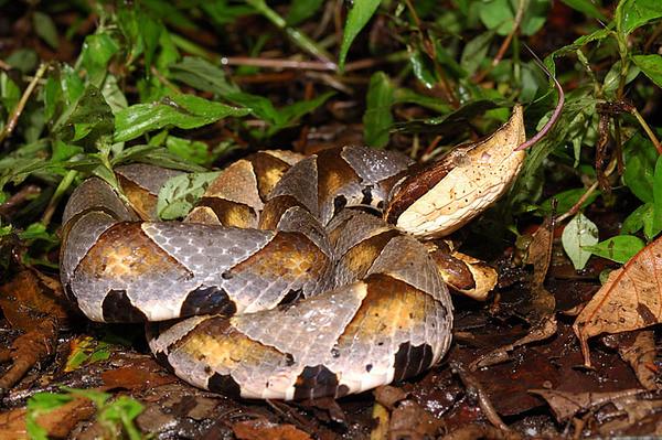 泛著灰紫色光澤的百步蛇,神祕而美麗,但也因人為干擾,漸漸消失於台灣山林中。
