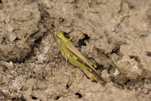 Aiolopus puissanti (Acrididae: Oedipodinae) hembra
