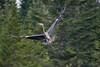 Great_Blue_Heron_in_flight