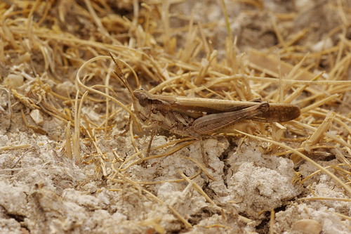 Aiolopus puissanti (Acrididae: Oedipodinae) macho