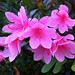 Azalea Magic, Adelaide_1289a2