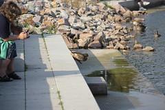 Duck suicide