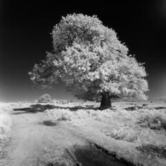 Mogshade oak