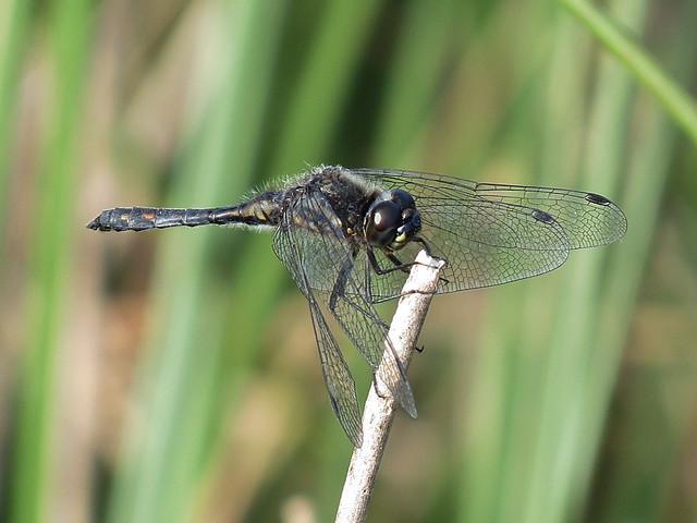 Black Darter - Sympetrum danae