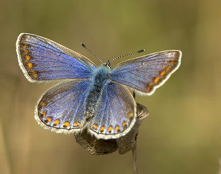 Upside of the common blue
