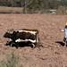 Plowing with oxen - Arrando con una yunta; cerca de San Pedro Tidaá, Región Mixteca, Oaxaca, Mexico por Lon&Queta