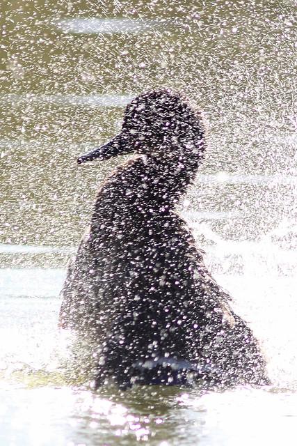 Mallard taking a bath