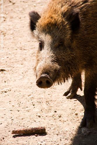 Wildschwein und Kolben